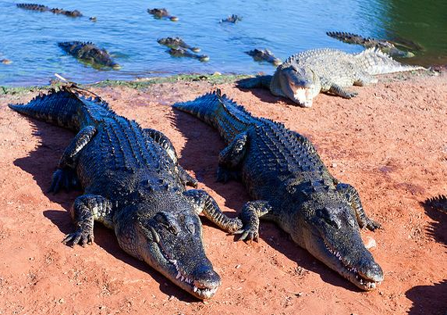 Salties at a Crocodile Farm