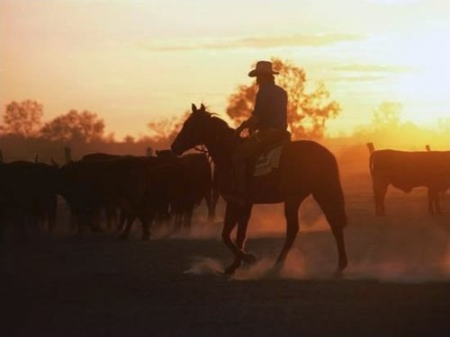 Drover Mustering Cattle,South Australia, Australia