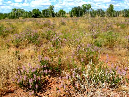 Outback View: Australian Wildflowers