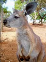 Kangaroo, another popular Australian animal.
