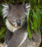 Koala, the most popular of the Australia animals