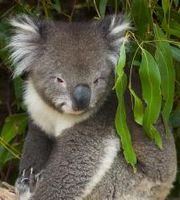Koala, the most popular of the Australia animals