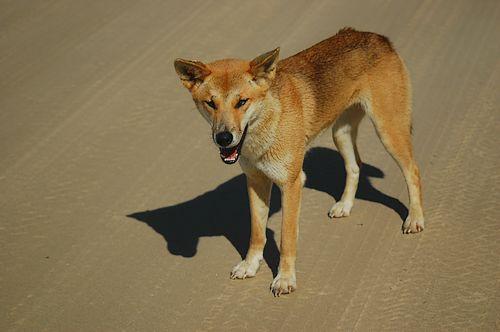 Australian Desert Dingo