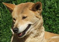 The Australian Dingo