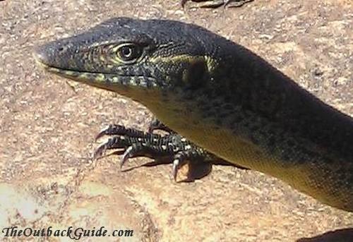 Friendly Australian lizard