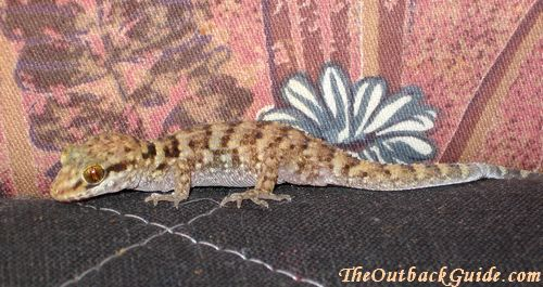 Australian gecko lizard