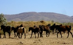 Wild horses in the Outback
