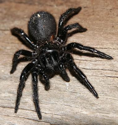 Australian Spiders Venomous Redback Spider Poisonous
