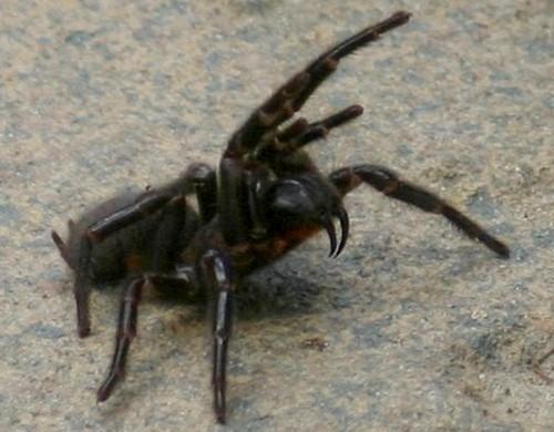 Aggressive Sydney Funnel-web Spider