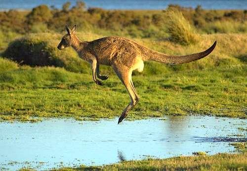 Popular Wildlife: Kangaroo