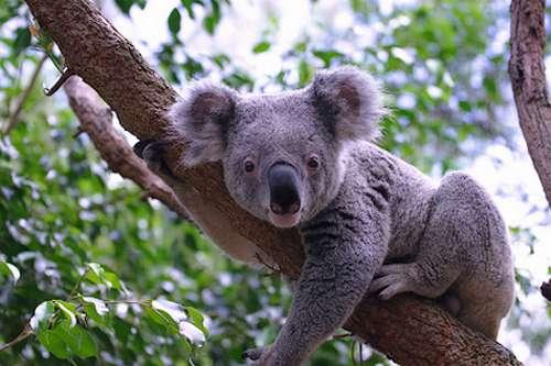 Popular Wildlife: Koala