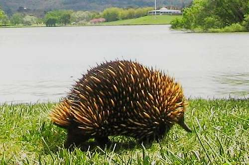 Unusual Australian Wildlife: Echidna
