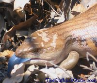 Australian Animals: Blue Tongue Lizard