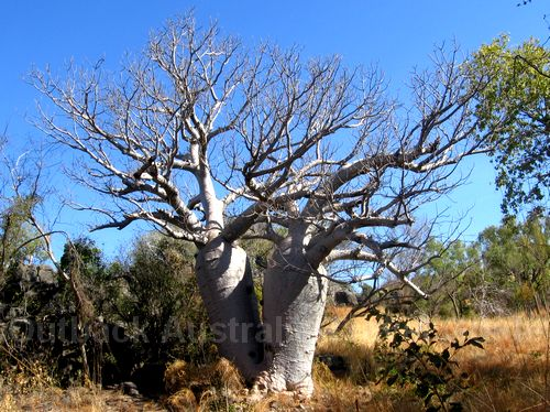 Boab Tree Pictures And Information