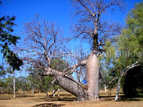Boab tree at Bullita Homestead