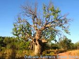 A boab tree already sprouting leaves for the upcoming wet season
