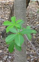 Leaves and bark of a young boab tree.