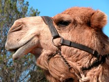 Camels In Australia: The Australian Outback And The Feral Camels