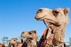 Camel train in Australia