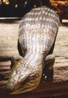Common Blue-Tongue Lizard