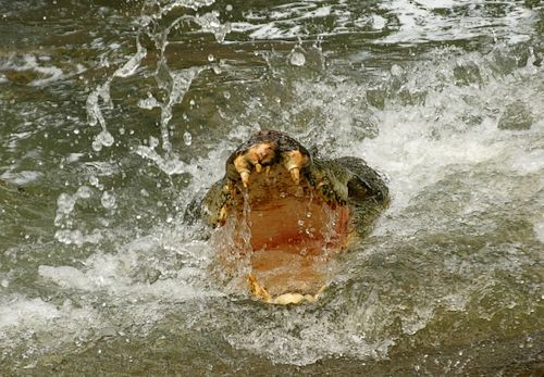 A saltwater crocodile attacks