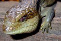 Eastern Blue-Tongued Lizard