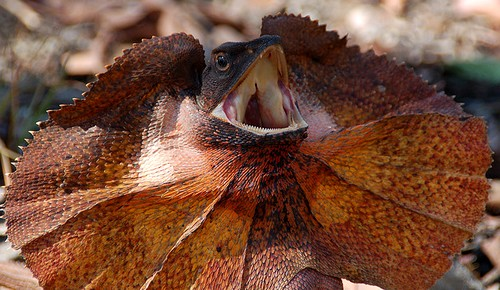 Image result for images of angry lizard