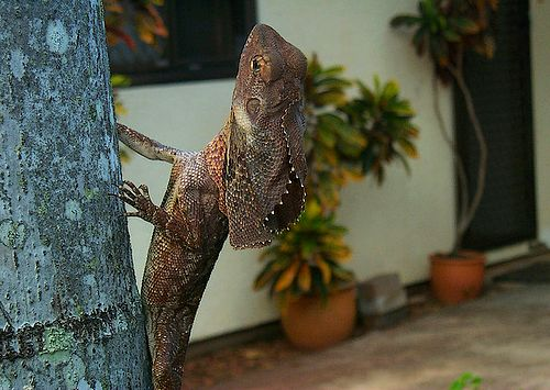 Frilled lizards often live in gardens