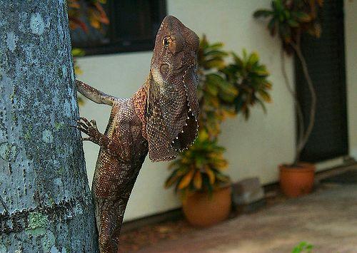 Frilled lizards often live in gardens