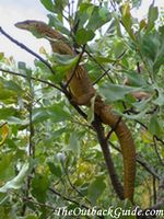 A monitor lizard in a tree