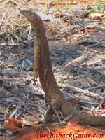 A goanna checking out the area