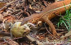 A little goanna has caught a frog