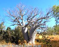 Twin boab trees in Gregory National Park.