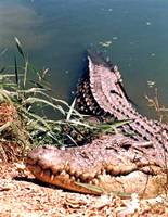 Saltwater crocodile basking on the ege of the water