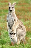 Grey Kangaroo With Joey