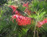 Wildflowers at Katherine Gorge National Park: Grevillea