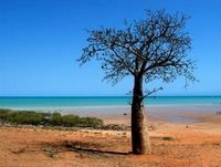 Single boab tree at a Broome beach.