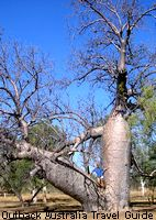 A very old boab tree, though they can grow a lot biiger and older than this
