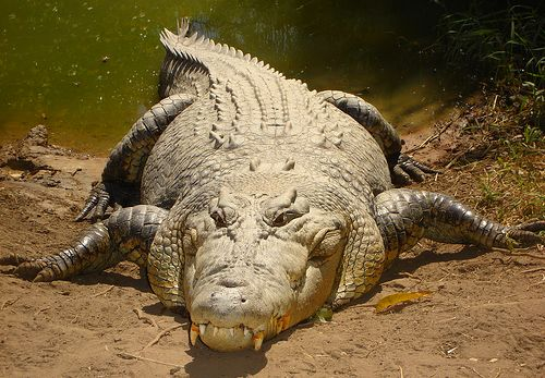 Mean Saltwater Crocodile