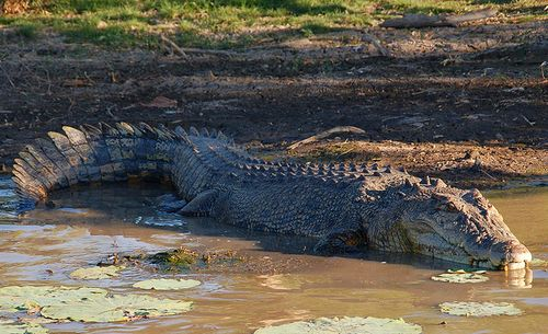Australian Saltwater Crocodiles Pictures And Facts About