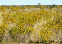 Flowering acacias, common plants in the Tanami.