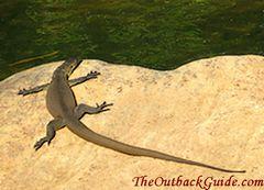 Water Goanna sun basking on rock