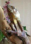 Frill-Neck Lizard