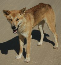 A wild dingo doesn't carry any excess flesh.