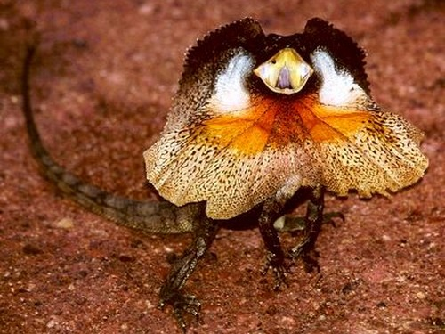Angry Frilly Lizard
