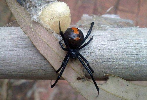 Redback Spider with egg sack