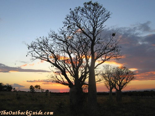 Bottle trees at sunset
