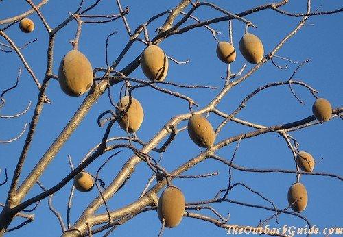 Boab Nuts