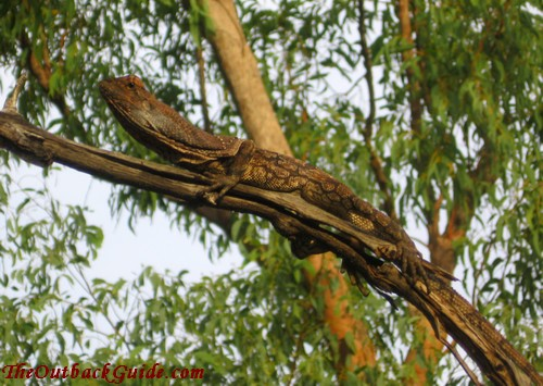 Frilled lizard on a tree