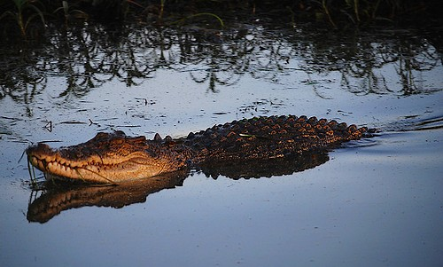 Crocodile at dusk, the most dangerous time
